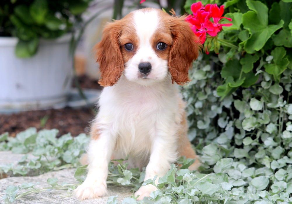 Iggy Cavalier King Charles Spaniel Puppy For Sale Keystone Puppies Cavalier King Charles Spaniel King Charles Spaniel King Charles Cavalier Spaniel Puppy