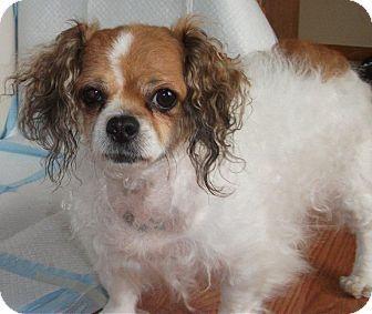 Bichon King Charles Bichon Frise Pets Pet Adoption