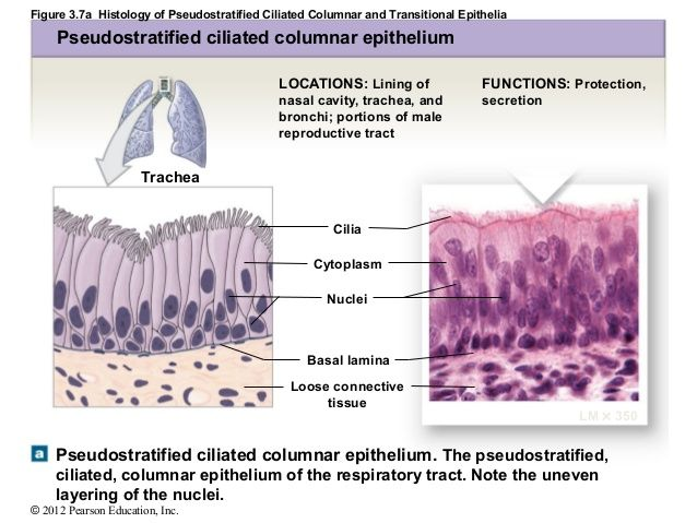 Figure 3.7a Histology of Pseudostratified Ciliated Columnar and ...