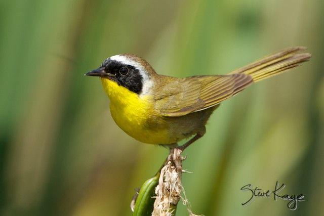 common yellowthroat, male