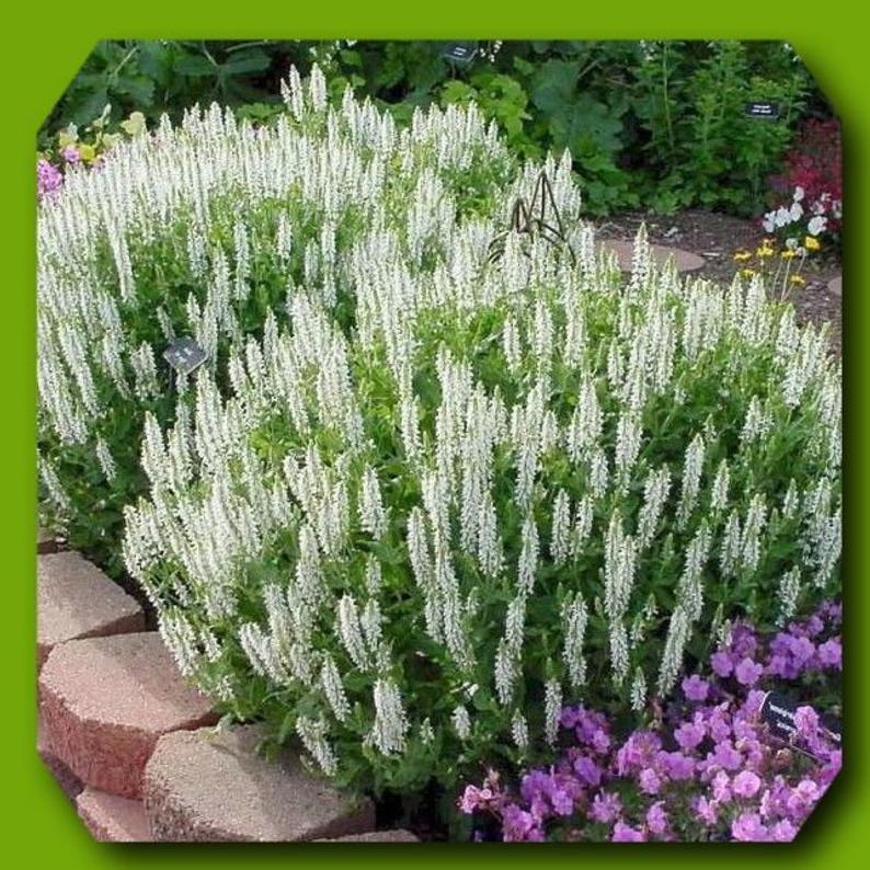 Live Perennial Plant Salvia Sylvestris Schneehugel Etsy Drought Tolerant Garden Perennial Plants Plants