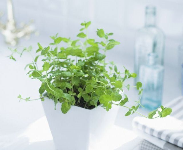 6 Herbs To Grow In Pots This Year Mint Plants Growing 640 x 480