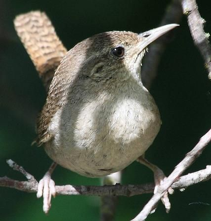 House Wren...such busy little nest builders!