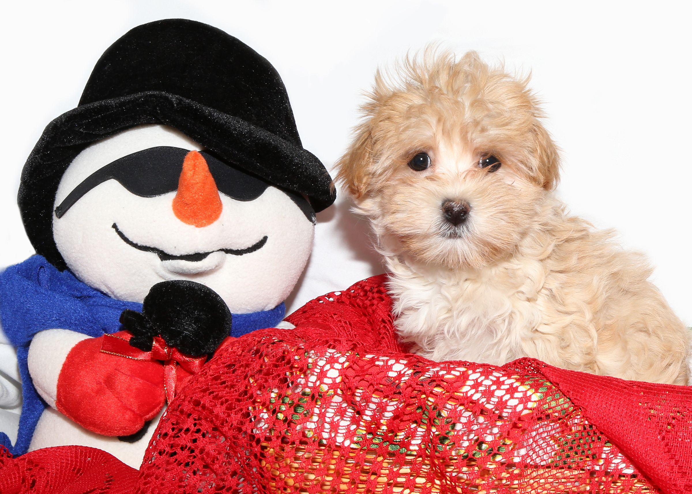 Maltipoo for sale at puppy love in franklin square puppy
