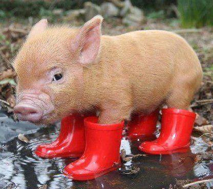 Micro Pig!!