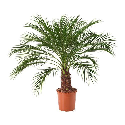 PHOENIX ROEBELENII Roślina doniczkowa IKEA Udekoruj swoje wnętrze roślinami oraz doniczkami pasującymi do Twojego stylu. 79,99