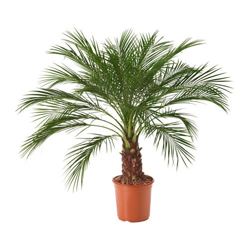 Phoenix roebelenii pflanze ikea 29 99 24 cm home for Dekoartikel balkon