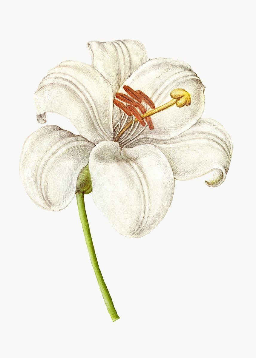 Download Premium Png Of Vintage White Lily Blooming Illustration Png White Lilies Illustration Antique Artwork