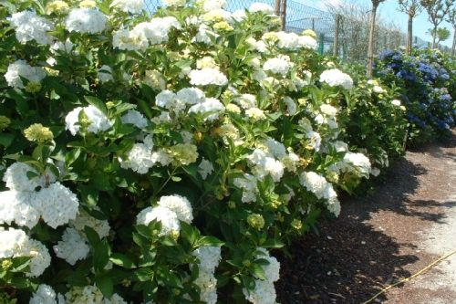 hydrangea macrophylla 39 mme hortensia grandes feuilles toutes les plantes avec. Black Bedroom Furniture Sets. Home Design Ideas