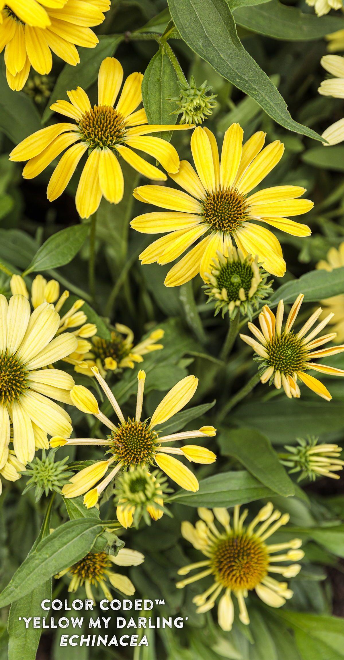 Yellow Coneflower For Birds Bees Butterflies In 2020 Yellow Plants Echinacea Bird Garden