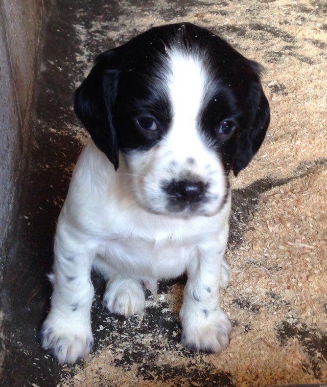 Beautiful Kc Reg Ess Puppies For Sale Devon For Sale With Images Labrador Puppy Puppies Labrador Puppy Training