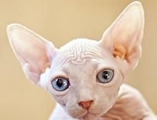 Sphynx Kittens For Sale Illinois Sphynx Kittens For Sale Sphynx
