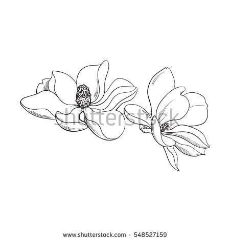 Two Magnolia Flowers Sketch Style Vector Illustration Isolated On White Background Realistic Hand Drawing Of Magnoli Magnolia Flower Flower Sketches Magnolia