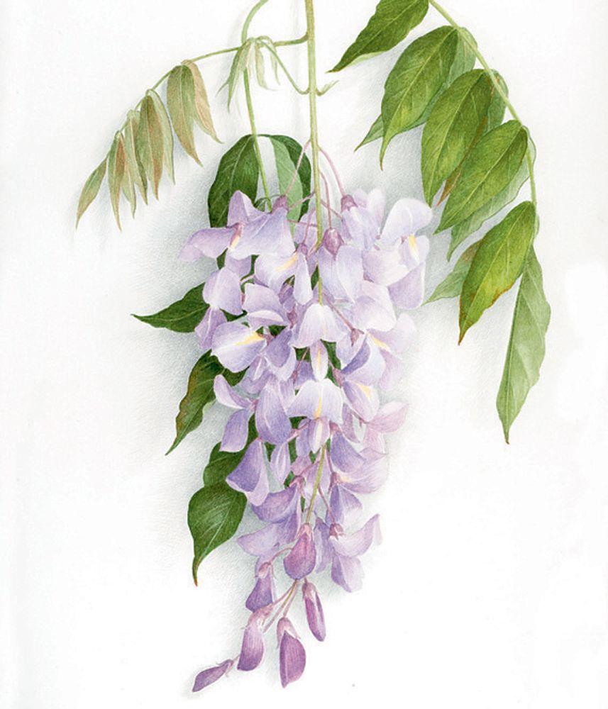 Galerie Botanique A L Aquarelle Peinture Fleurs Comment