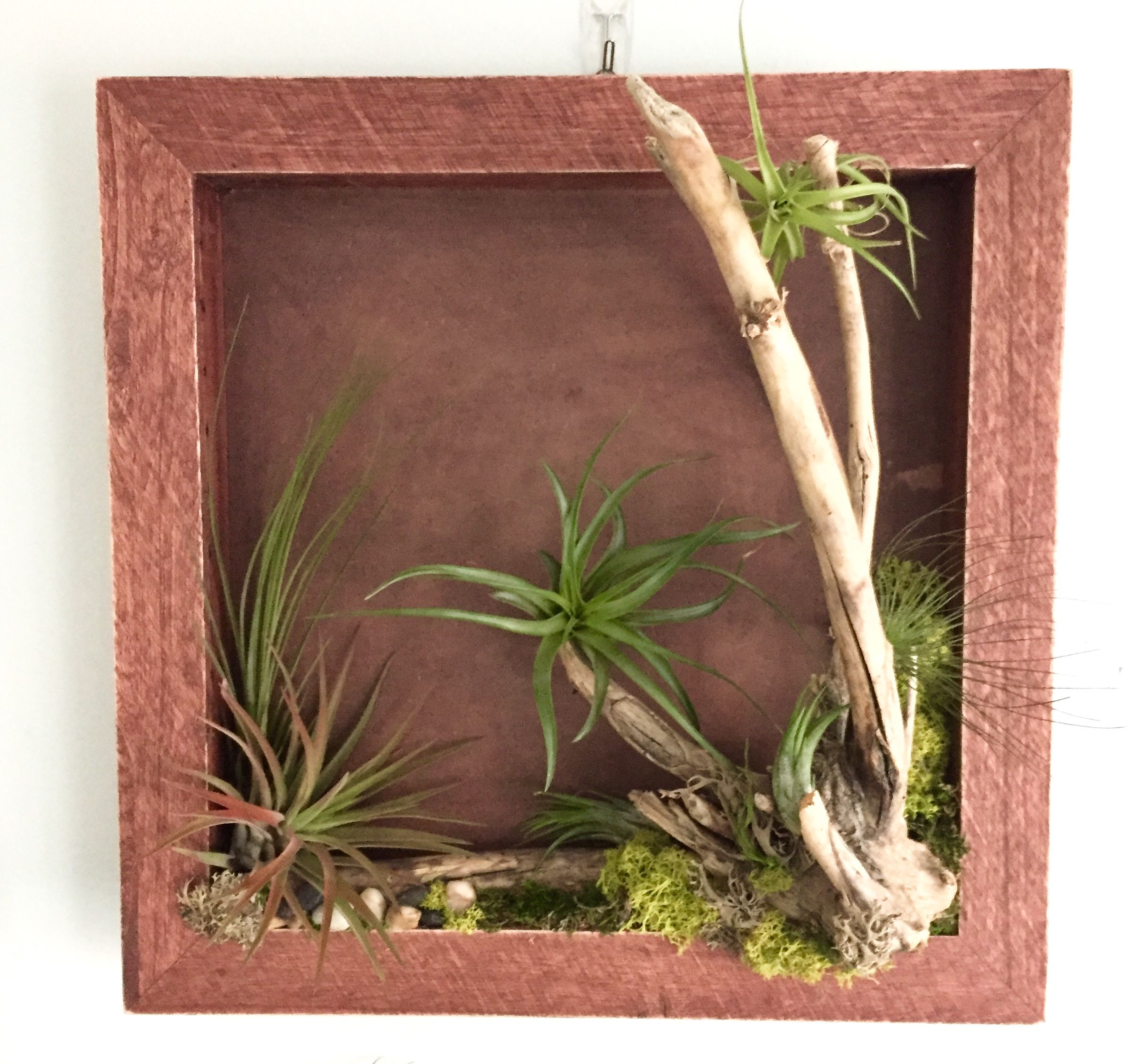 Shadow Box With Driftwood Air Plant Display