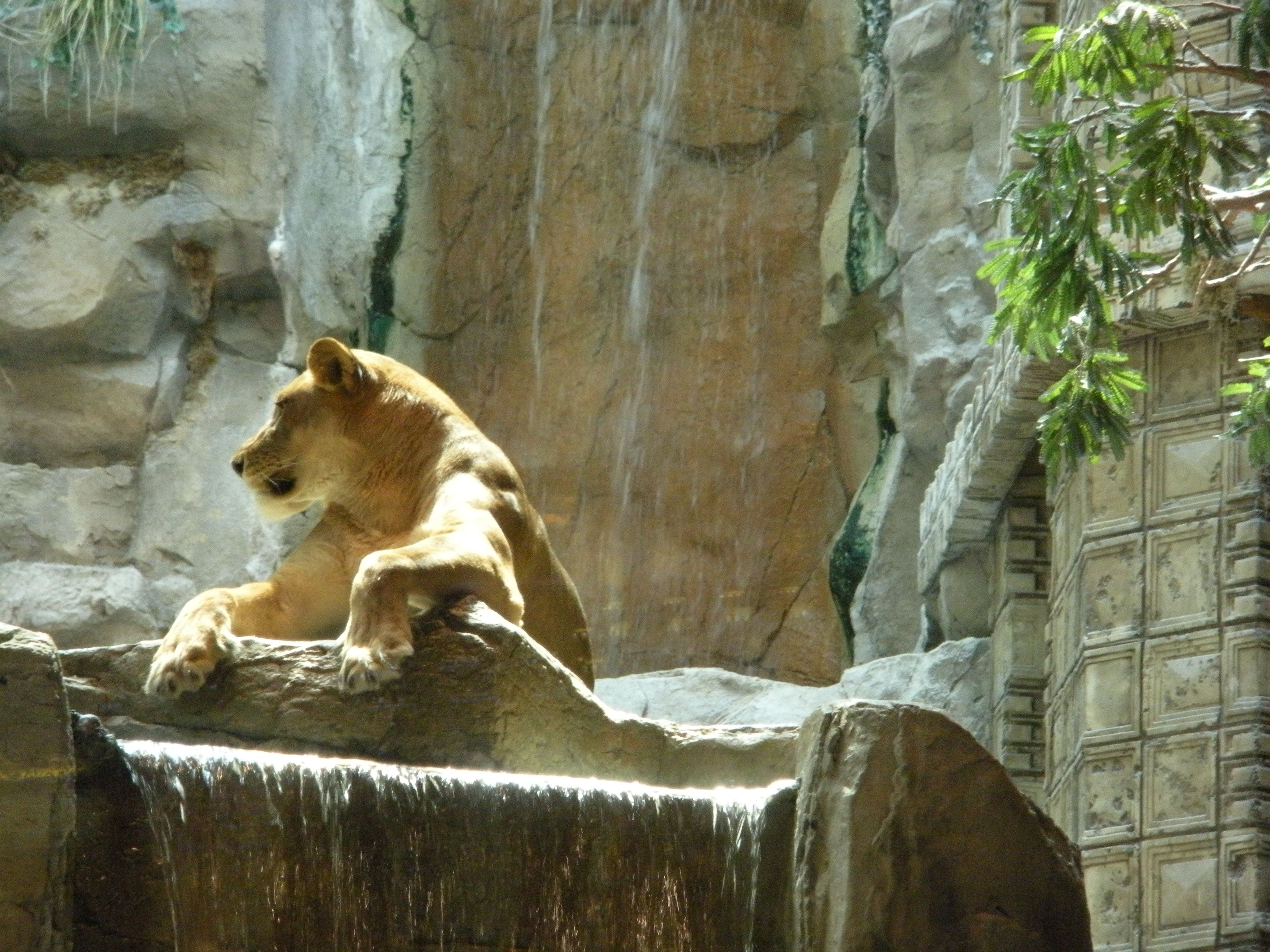 Visiting the Lions @ MGM Grand in Las Vegas | VIVA LAS VEGAS ...