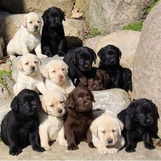 Photo of Más información sobre el saliente Black Labrador Retriever Pup Health #labradorofinstagra …