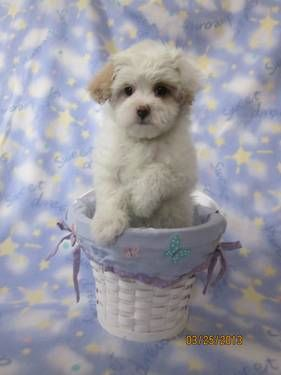 Female Maltipoo Apricot And White Parti Color Tiny Toy Maltipoo Puppy Puppies Pedigree Dog