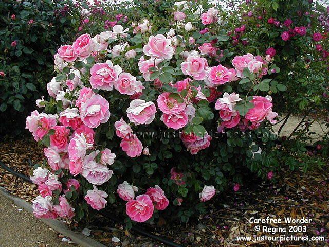 Shade Roses Carefree Wonder Bush Carefree Lives Up