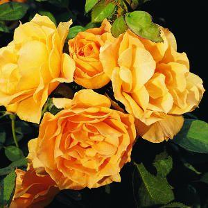 Best Varieties For Your Rose Garden Floribunda Roses Flowers Rose