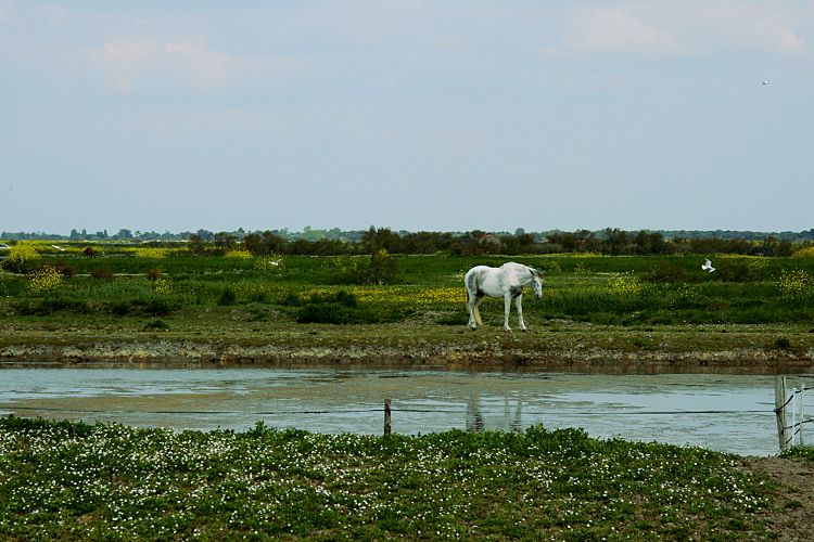 On the north of the island of Ré, inside a large bay almost closed by the Fier d'Ars, the National Nature Reserve of Lilleau Niges annually hosts thousands of migratory & sedentary birds . Fauna it is easy to see using the bike path that runs through this territory of saltmarsh and mudflats.