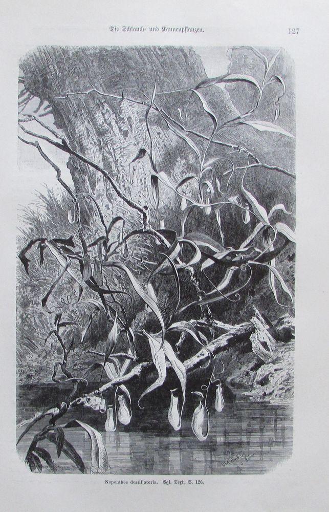 1896 SCHLAUCH UND KANNENPFLANZEN alter Druck antique Print Lithographie Botanik