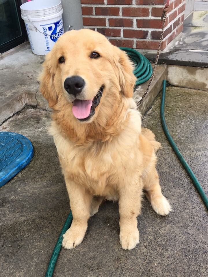 Dogs Golden Retriever Image By Wayne Mahar On Dogs And Puppies In