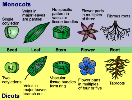 bio monocot and dicot To study the structural details of the stem or root of a monocot or dicot plant, it is essential to be familiarized with the sectioning and staining techniques used.