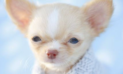 Chihuahua Puppies For Sale At Teacups Puppies Chihuahua Puppies Teacup Chihuahua Puppies Cute Chihuahua