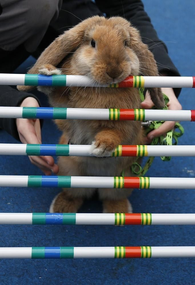 rabbits take part in obstacle course in prague as part of easter