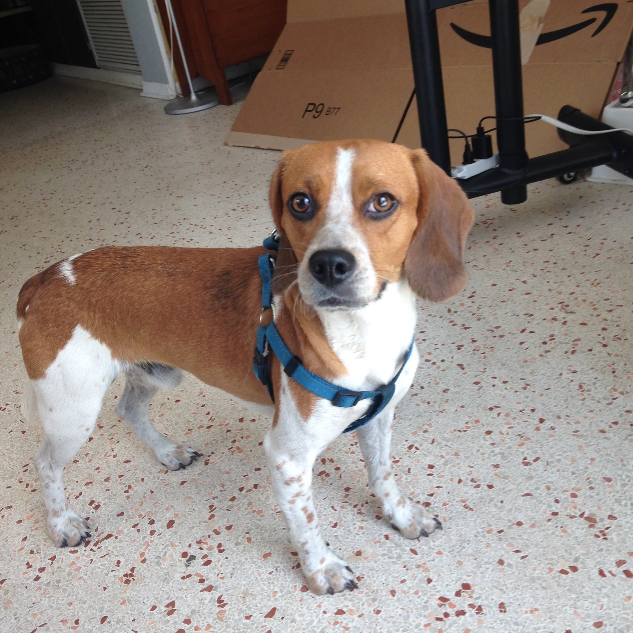 Beagle dog for Adoption in Tampa, FL. ADN542433 on