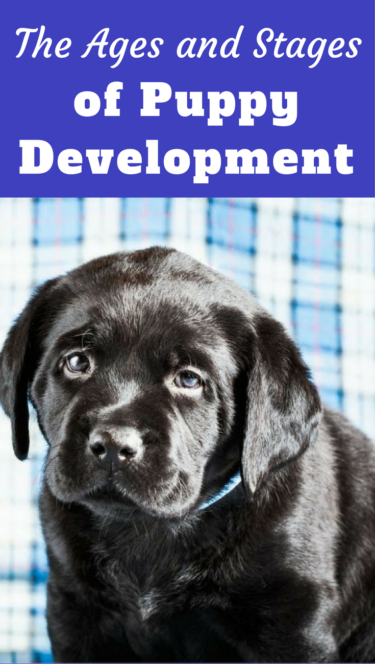 Puppy Development & Growth Stages Guide Key Age