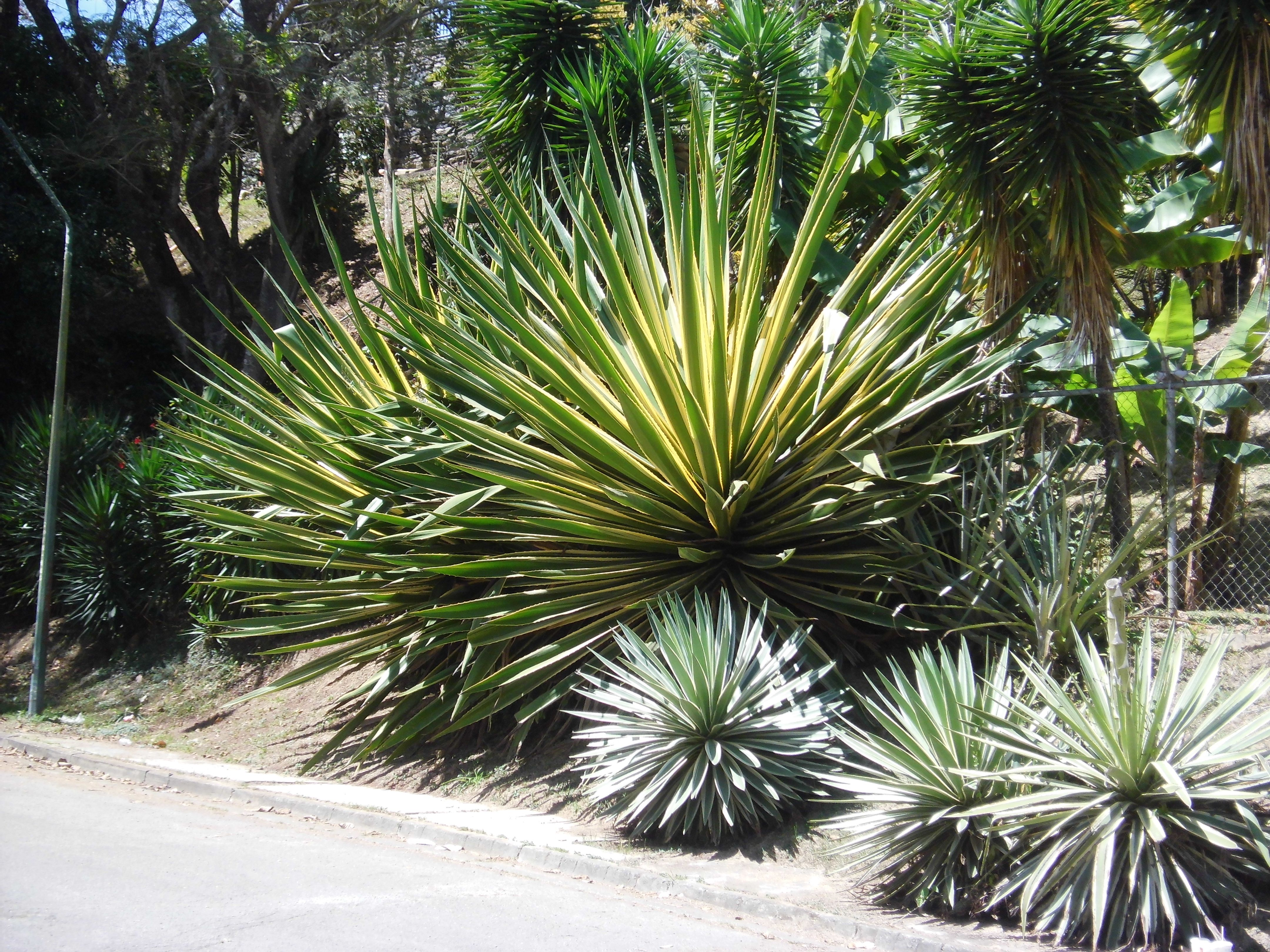 agave angustifolia - Google Search