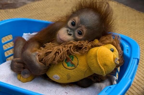 Baby Orangutan Clings To A Stuffed Toy For Comfort Babies