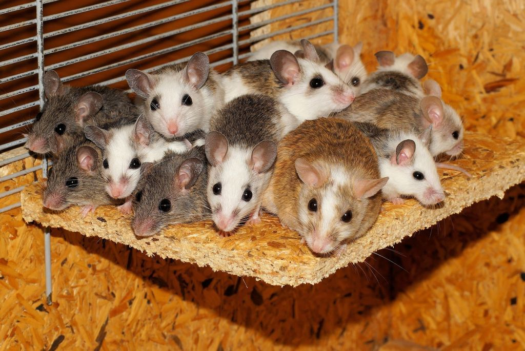 Israeli Mouse In The House For 15 000 Years Pet Mice Mouse Cage Getting Rid Of Mice