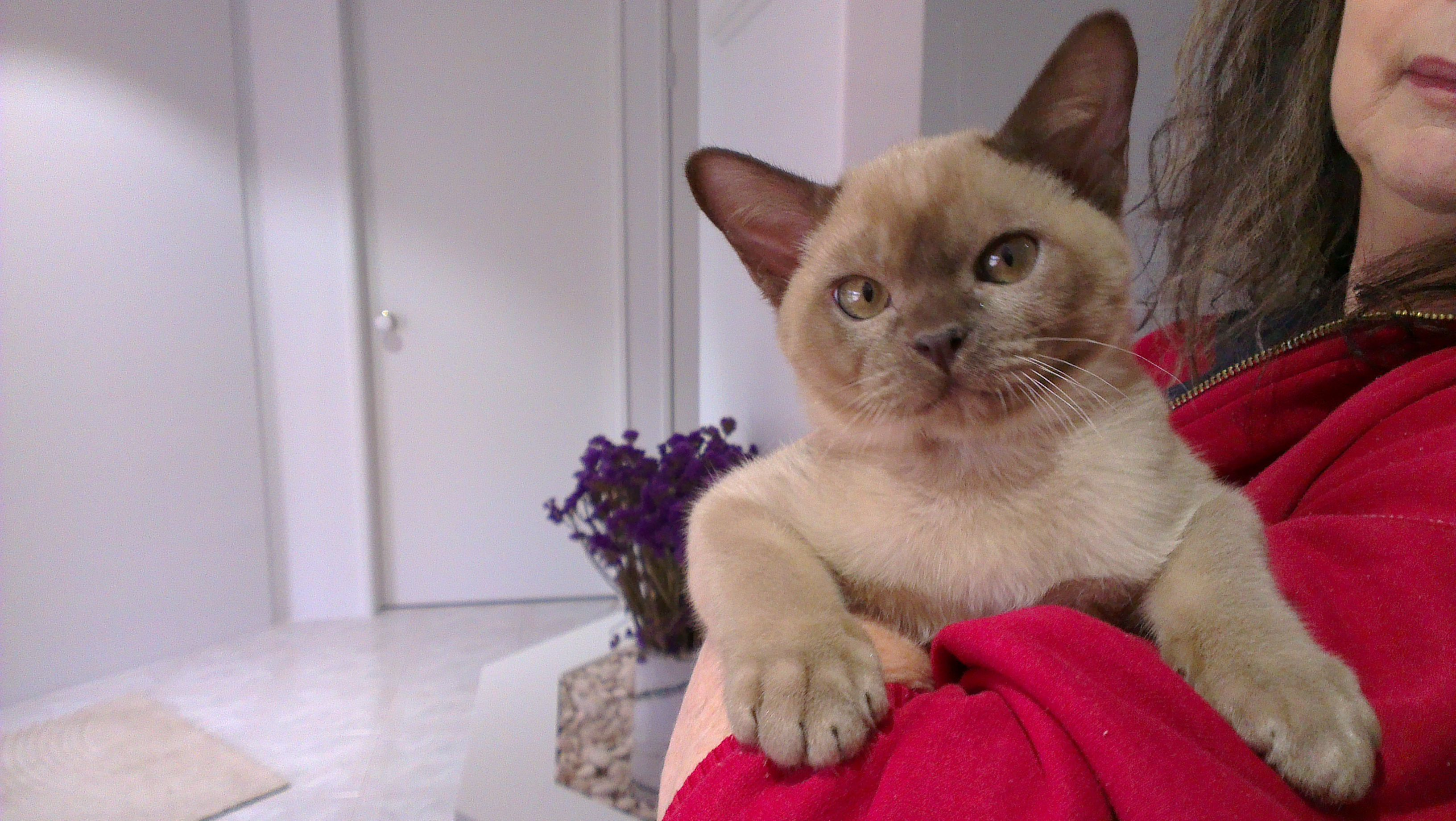 The Burmese Cat Kittens First Came To America In 1930 When Dr Joseph Thompson Of San Francisco Brought A Small Walnut Brown Female Cat From Burma Burmese Ca
