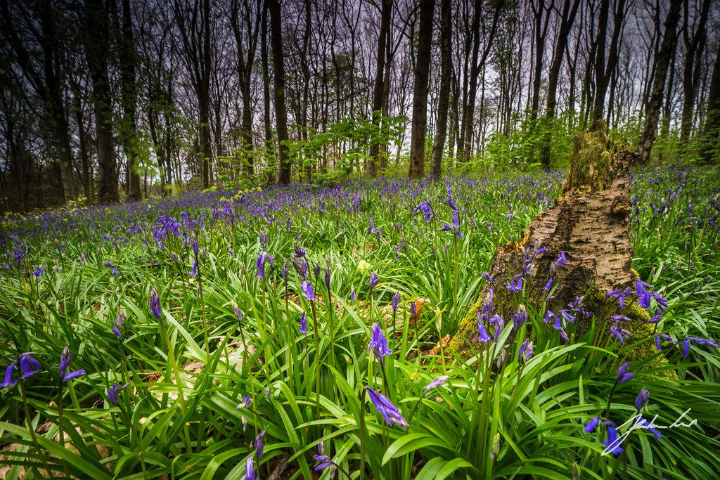 Bluebell Carpet in Portglenone Forest. Northern Ireland.