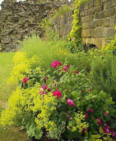 Rosa rugosa, Eriophyllum lanatum, Alchemilla mollis, Humulus lupulus Aureus