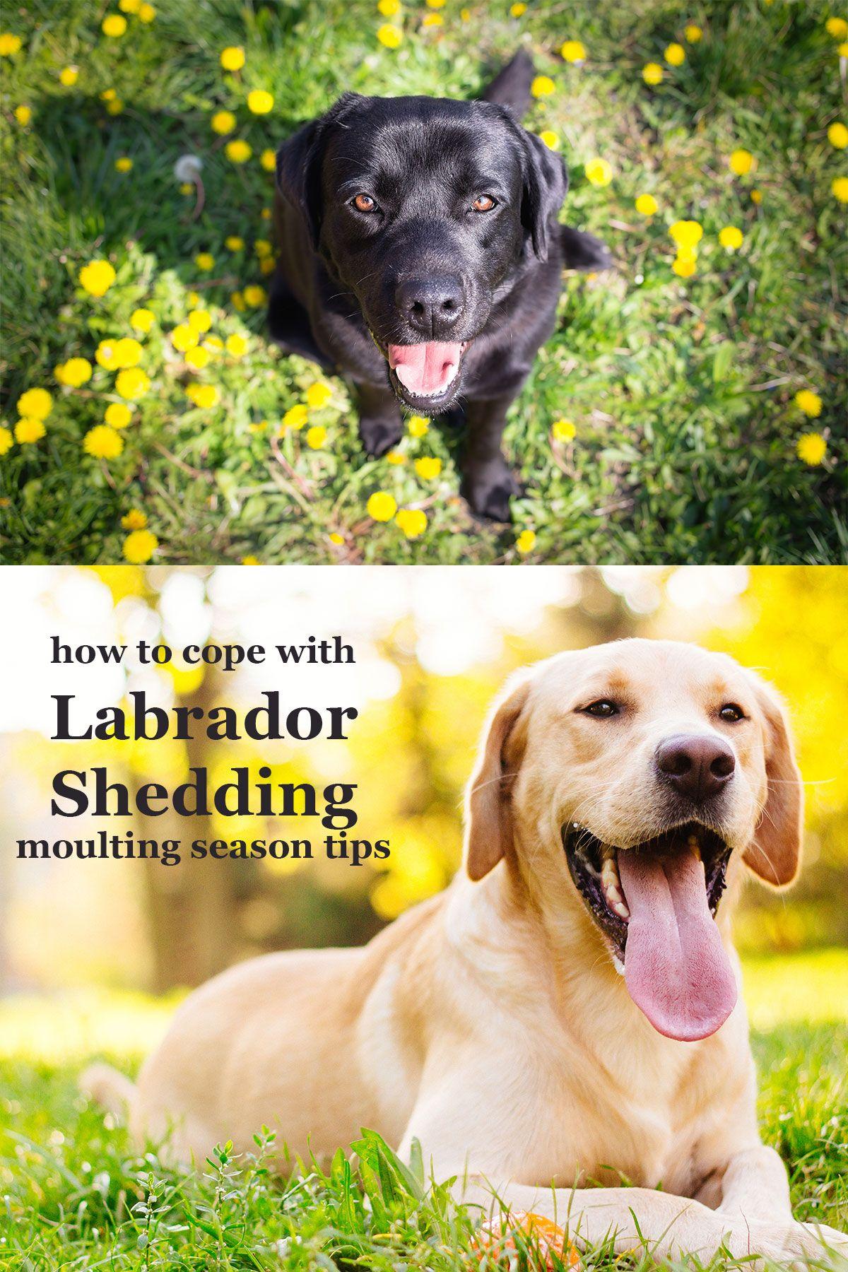 Labrador Shedding It S The Moulting Season Again Labrador