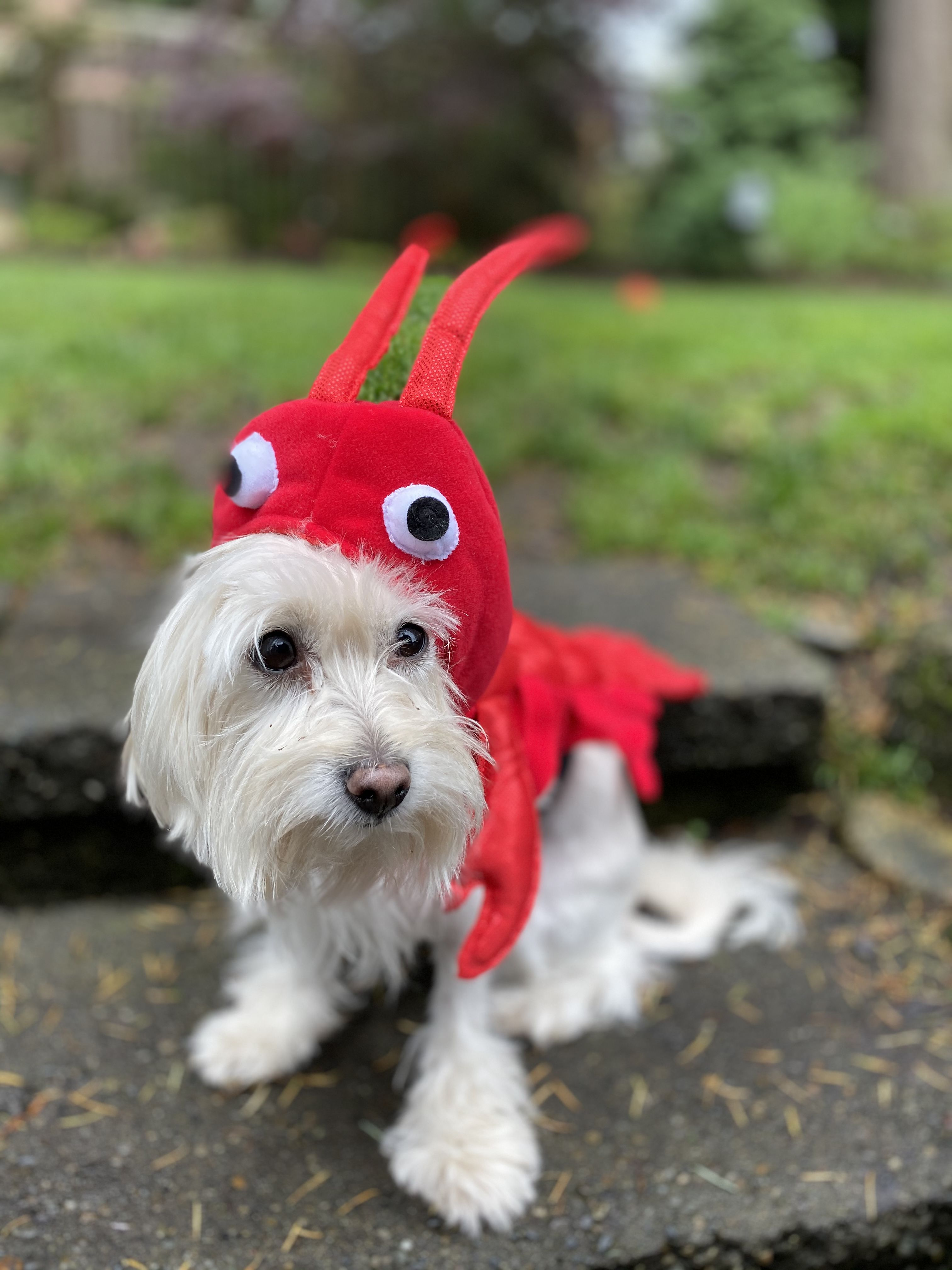 Lobster Costume | Christmas ornaments, Lobster costume ...
