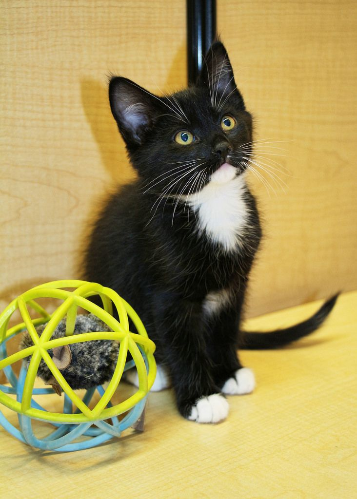Cunningham Scat Petsmart Adoption Centre Cat Adoption Cat Photo Cat Rescue