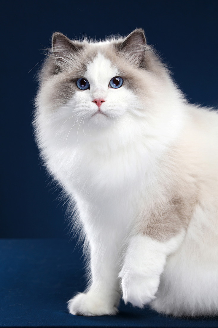 7 Fun Facts About Ragdoll Cats  #catbreeds
