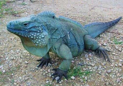 Blue Iguana Native To Grand Cayman And An Endangered Species