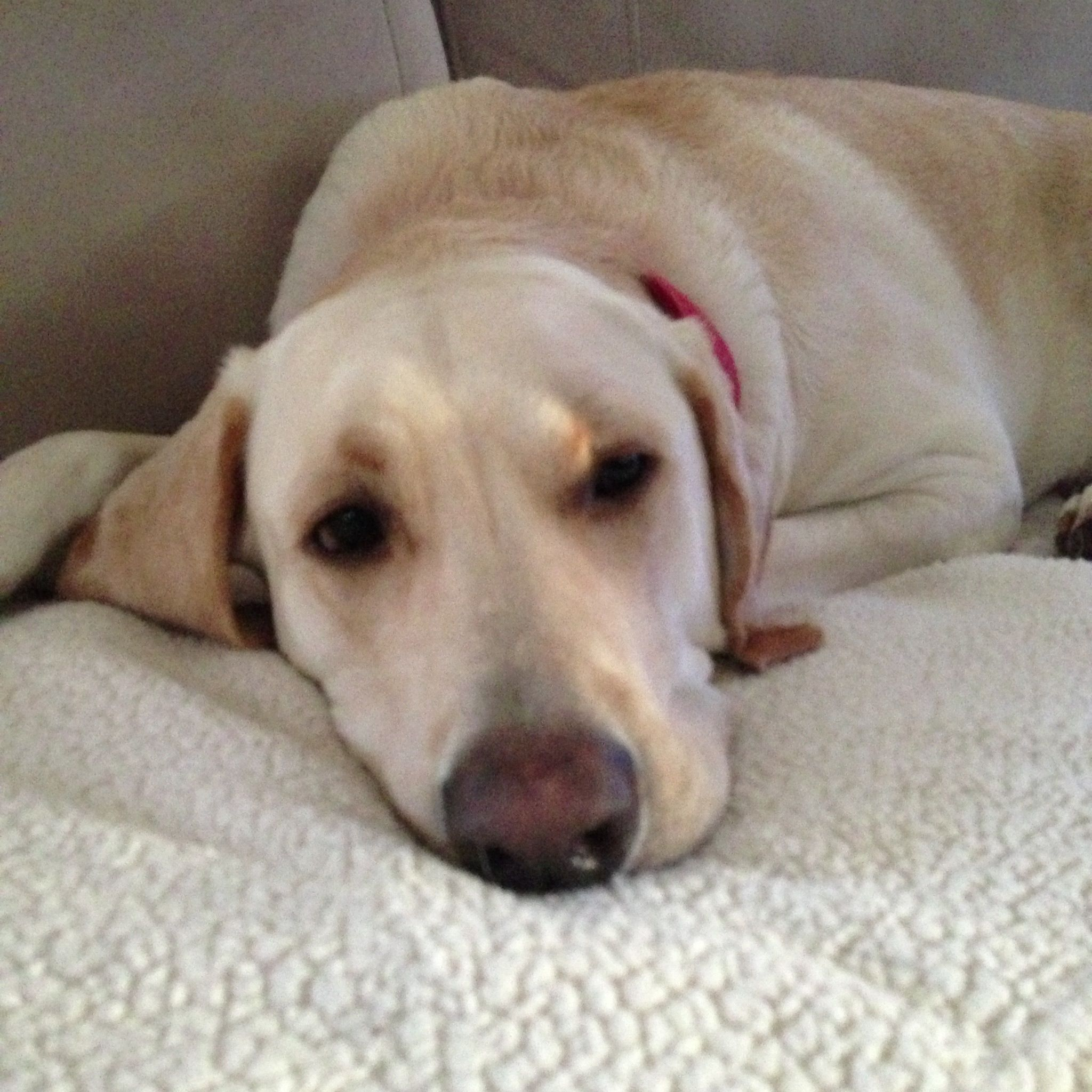 Pin by Seth on Animals > Humans Labrador retriever