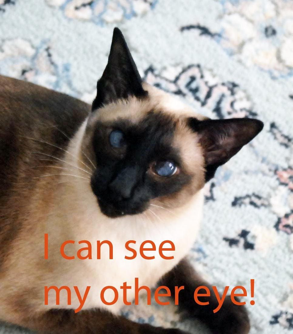 I Can See My Other Eye But Who Says I M Cross Eyed Siamese Cats Cats Future Cat Lady