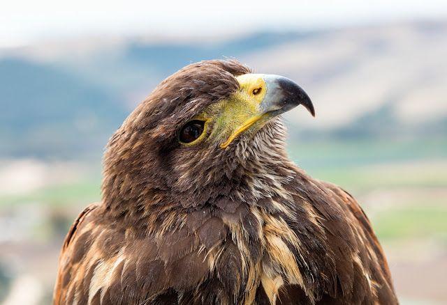 roofvogel steenarend 6 5 kilogram steenarend
