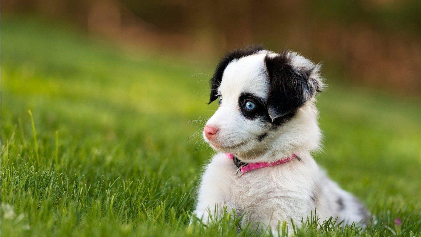 Top Cute Puppy Blue Eye Adorable Dog - 8f60b9971703ce47ec00f8f83f61e037  You Should Have_956419  .jpg