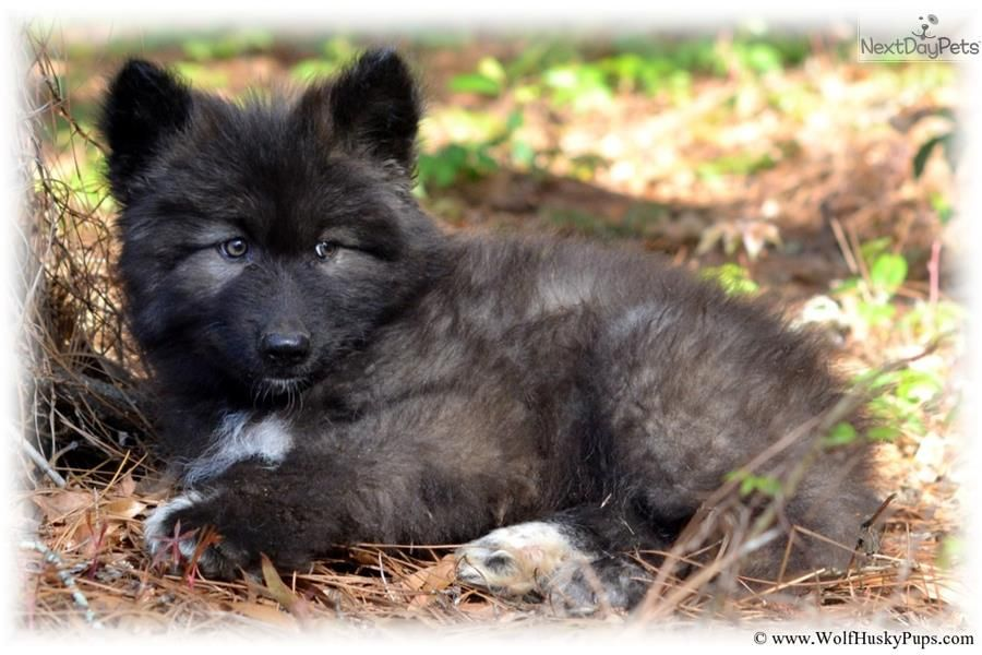 Black Wolf Puppy Wolf Hybrid Wolf Hybrid Puppies Wolf Puppies For Sale