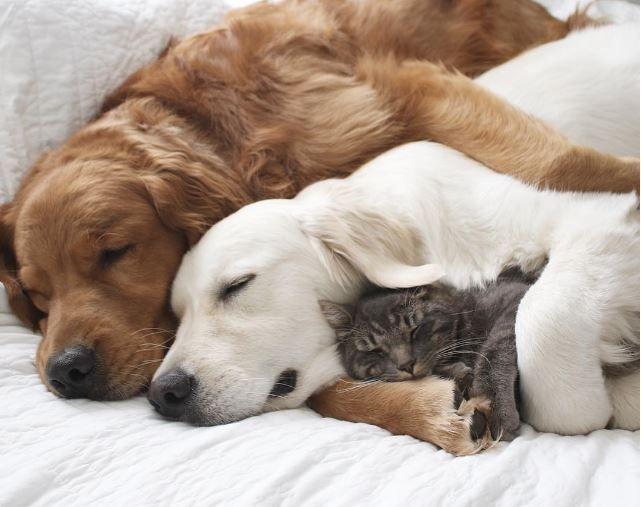 Golden Retriever Makes New Animals Feel Immediately Welcome #labradorretrieverpuppies