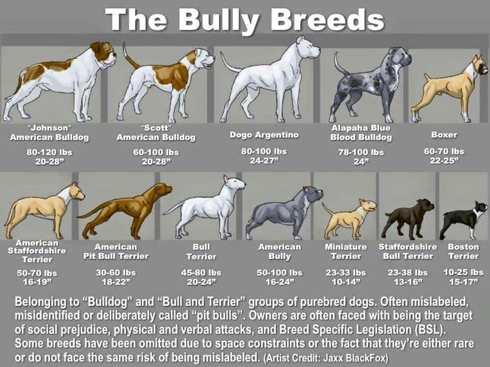 The bully breeds Pitbull terrier, Bully breeds dogs